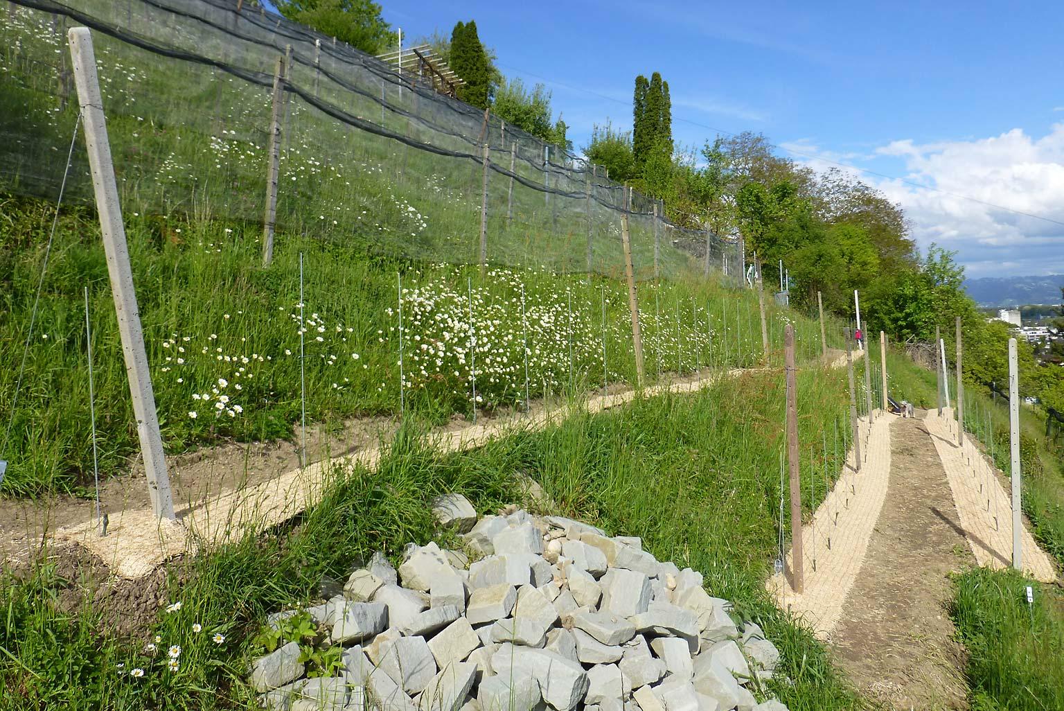 2017 gepflanzte Muscaris-Setzlinge