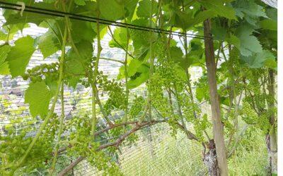 Die Trauben beginnen zu wachsen…